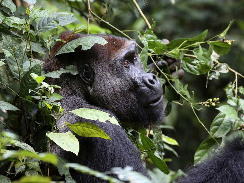 Shows Buka, a silverback gorilla in a park in the Republic of Congo.