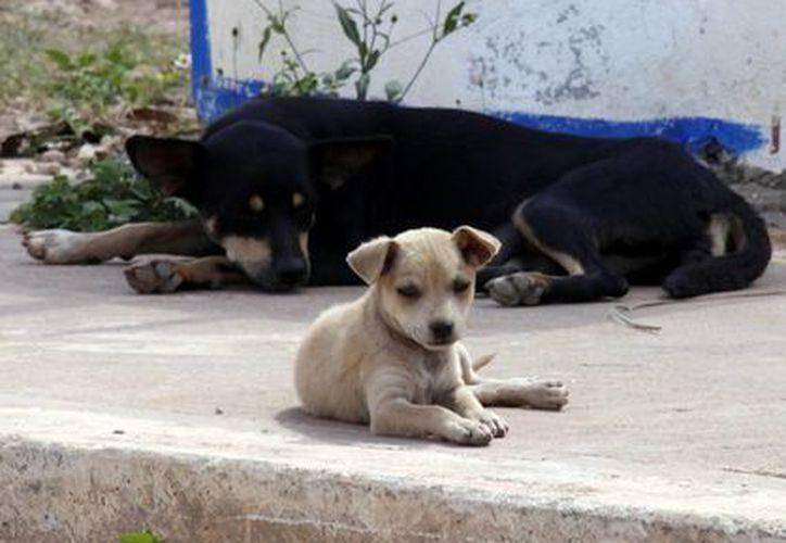 La adopción de perros y gatos podría abatir el número de los callejeros. (SIPSE)