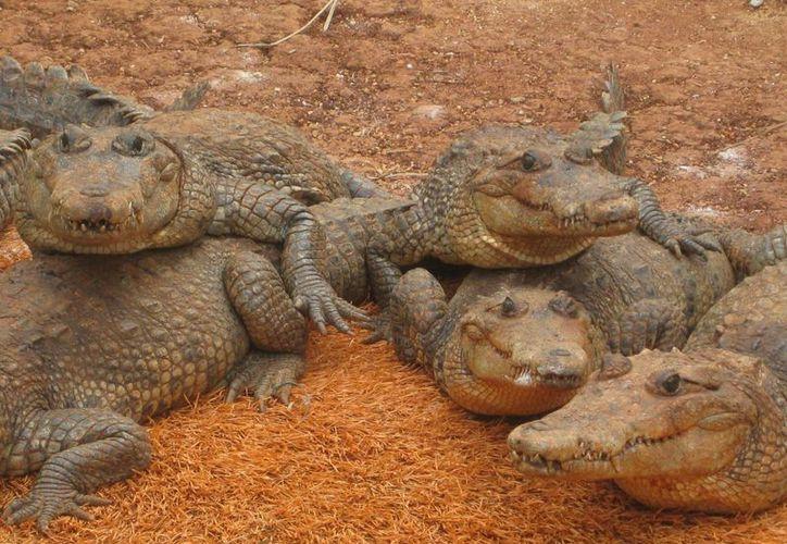 El proyecto de conservación, que durará tres años, pretende la extracción de huevos de cocodrilos que viven en vida silvestre para su resguardo. (Javier Ortiz/SIPSE)