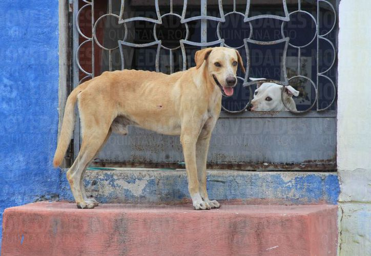 Una veintena de perros fueron incinerados en Cozumel en febero pasado, por haber enfermado de moquillo. (Joel Zamora/SIPSE)