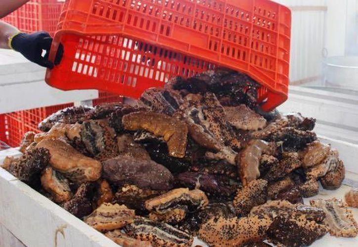 La sobreexplotación en los últimos daño afecta la reproducción del pepino de mar. (SIPSE/Archivo)