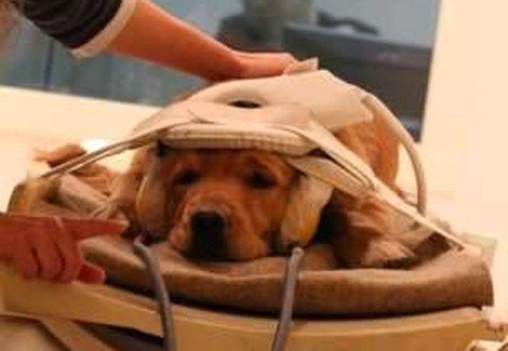 Uno de los perros del estudio durante el escaneo llamado imagen por resonancia magnética funcional. (Foto tomada de bbc.com)