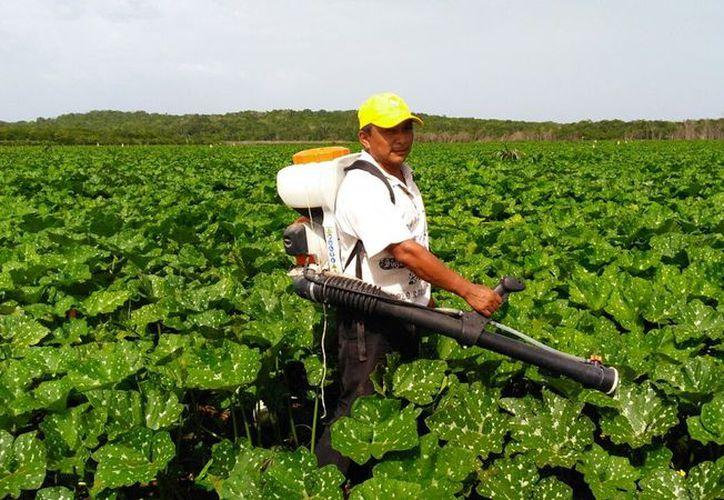 Habitantes de ocho comunidades rurales de Bacalar idearon un plaguicida orgánico. (Javier Ortiz/SIPSE)