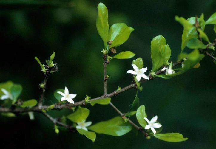 El Crucetillo debe su nombre a la forma de sus ramas. (phytoimages.siu.edu)