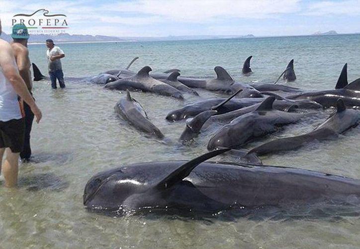 Autoridades ecológicas y militares acudieron en apoyo al varamiento de 27 ballenas piloto en PuntaBufeo, BajaCalifornia. (@PROFEPA_Mx)