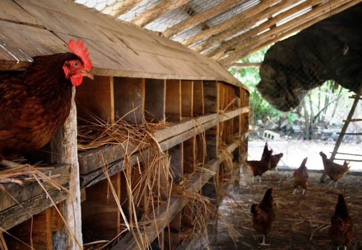 En cuanto a la ganadería, en Solidaridad el sector más destacado es la avicultura pues al año se cuenta con alrededor de 50 mil aves de corral.  (Octavio Martínez/SIPSE)