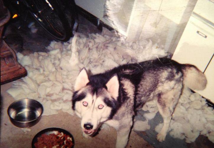 El husky siberiano Thor fue robado por la vecina de su dueño en noviembre de 2013. (post-gazette.com)