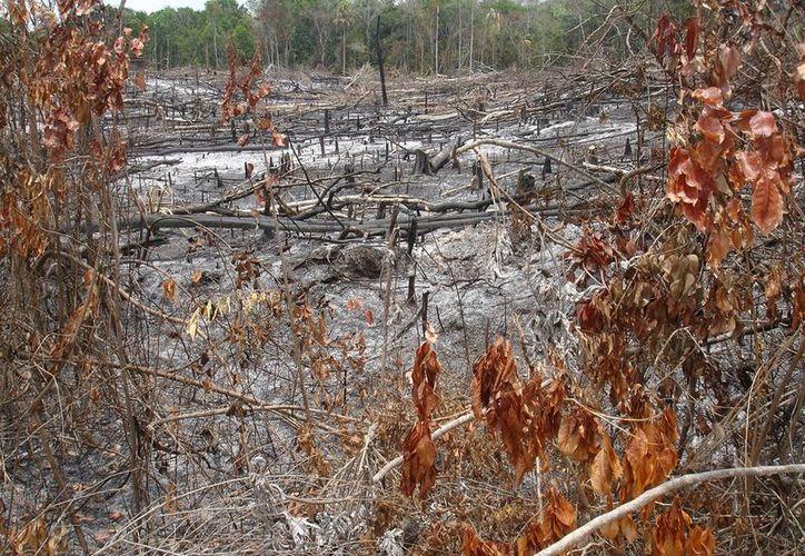 Entre este proyecto se prevé una reforestación de aproximadamente 880 hectáreas. (Joel Zamora/ SIPSE)