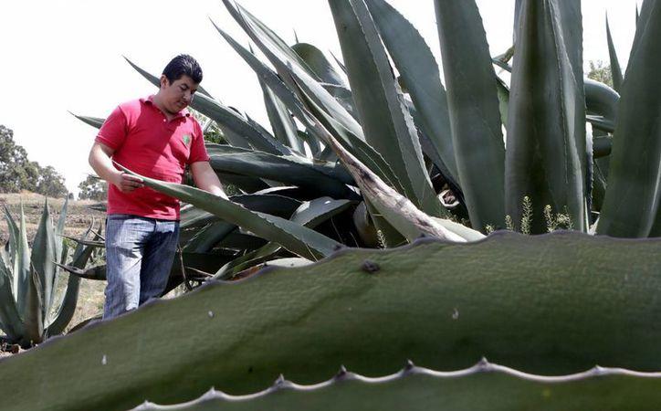 Los estados de Jalisco, Tamaulipas y Oaxaca son los primeros productores de agave en la República Mexicana. (Notimex)