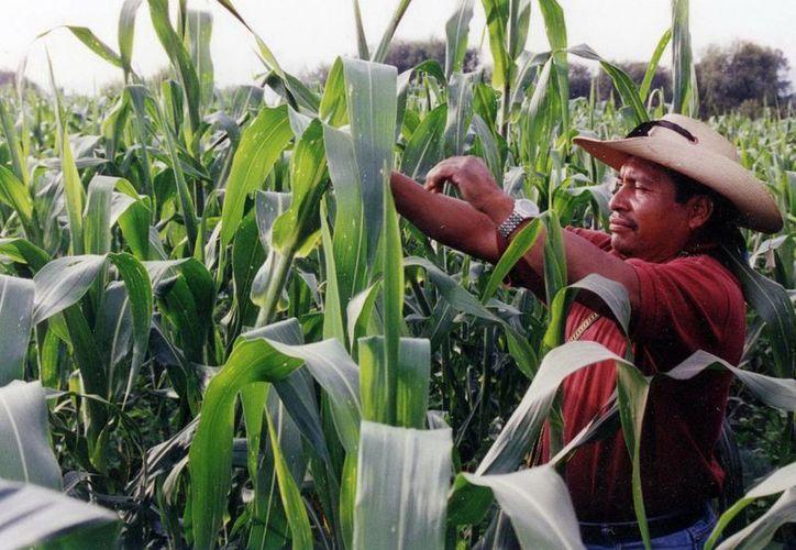 Este año Yucatán logró la producción de 120 mil toneladas de maíz. (SIPSE)