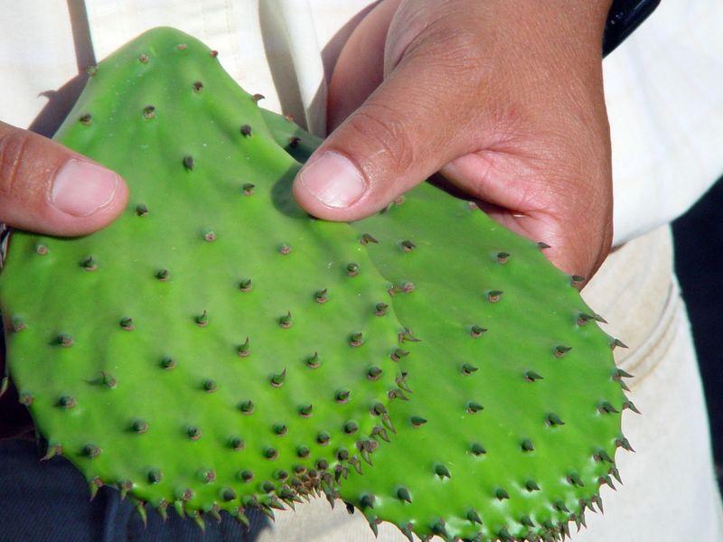 Tanto el nopal como el maguey tienen grandes cualidades medicinales, industriales y nutritivas. (blogspot.mx)