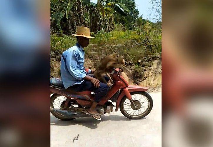 La astucia de este mono al conducir la moto en Perú es increíble. (Foto:MSN)