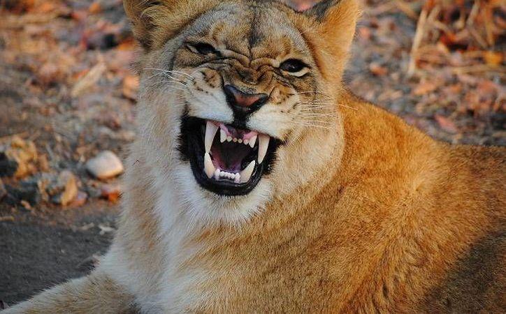 Una leona africana, como la de la imagen, fue asegurada en un domicilio del municipio mexiquense de Ecatepec. (m-x.com.mx)