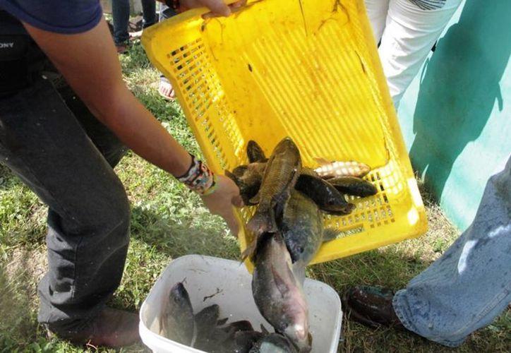 En México, un total de 212 mil toneladas, de un millón 631 mil toneladas de productos pesqueros corresponden a la acuacultura. (Edgardo Rodríguez/SIPSE)
