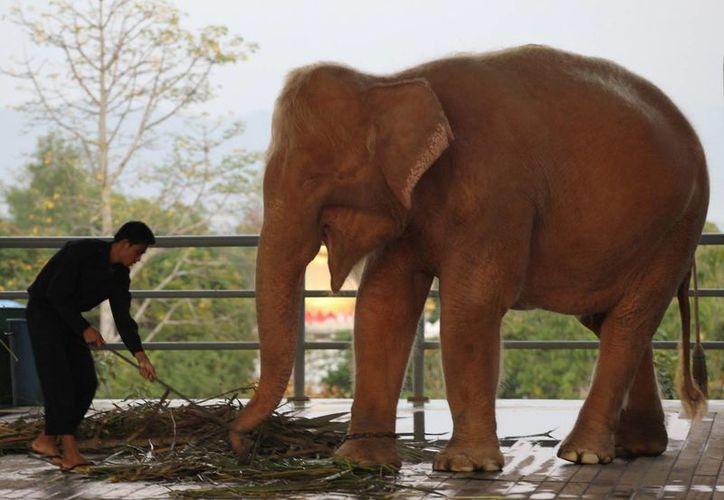 Los elefantes blancos, que en realidad son albinos, son muy veneados en Mianmar, Tailandia y Laos. (AP)