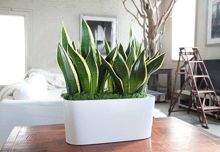 Algunas plantas ayudan a purificar el ambiente de gases tóxicos. (ciudadanosenred.com.mx)
