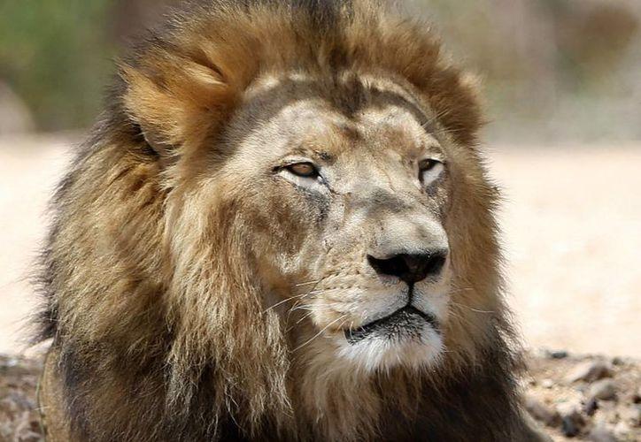 El Zoológico Nacional de Santiago de Chile se vio obligado a sacrificar a una pareja de leones para salvar la vida de un joven suicida que entró a la jaula de las fieras. (Archivo/AP)