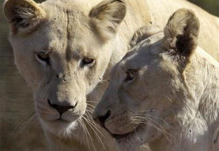 Hace 50 años, casi 100,000 leones vivían en el continente africano. (Agencias)