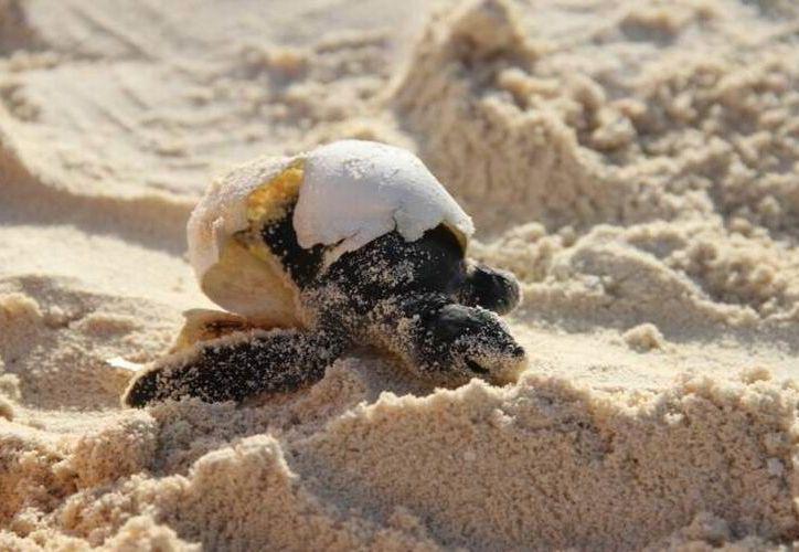 Estas acciones se coordinan a través del Programa de Protección y Conservación de las Tortugas Marinas. (Archivo/ SIPSE)