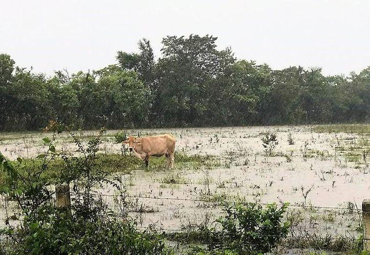 En Chacchoben, varios potreros quedaron dentro del agua, lo que obligó a productores a transportar sus animales a otras zonas. (Javier Ortiz/SIPSE)