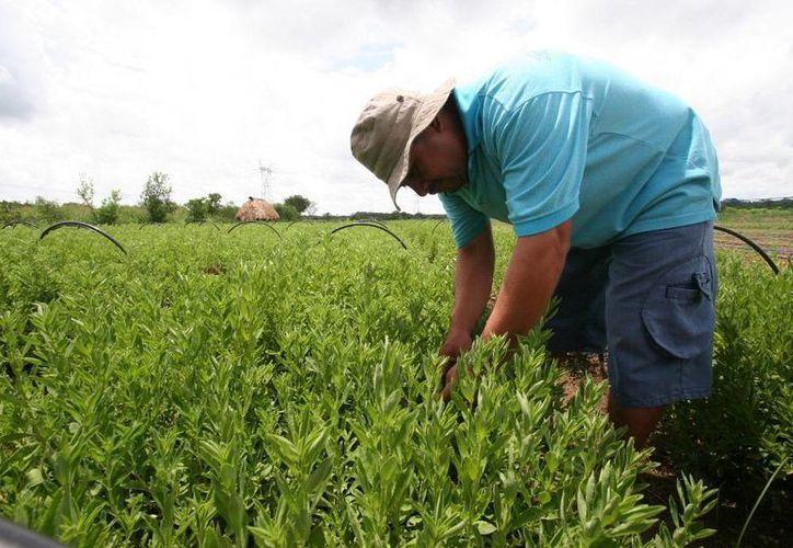 Se registran 250 hectáreas dedicadas al cultivo de la stevia. (Edgardo Rodríguez/SIPSE)