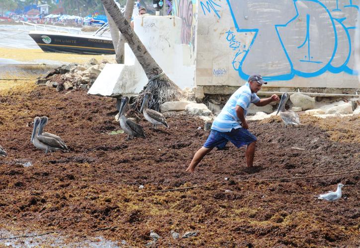 El alga se recolectará en el mar mediante barcos, bandas de extracción, bombas para dragado para sacar los sedimentos que están en descomposición. (Octavio Martínez/SIPSE)