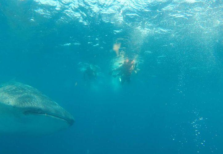 Inició el 26 de mayo el nado con el tiburón ballena. (Tomás Álvarez/SIPSE)