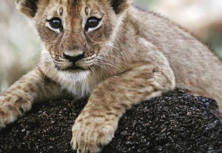 Los cazadores no buscan a los leones, sin embargo, muchos caen en las trampas que los dejan gravemente heridos.(Paola Bouley/AP)