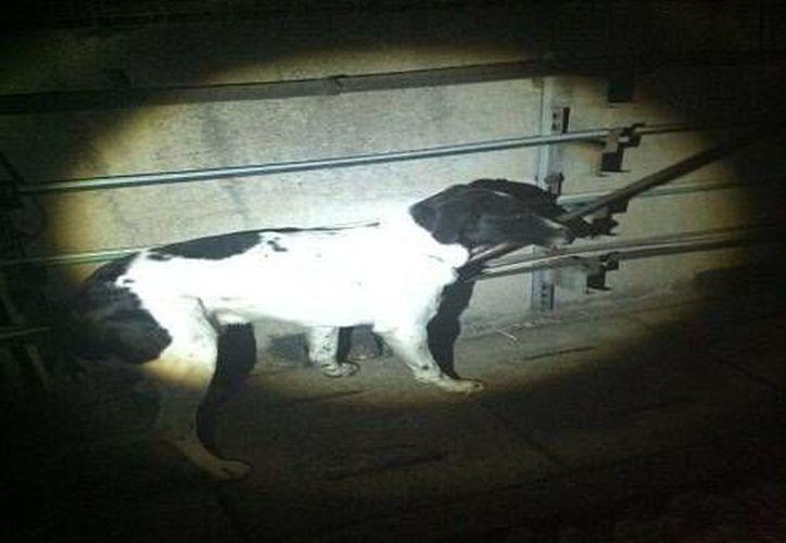 """El perro rescatado fue nombrado """"Viernes"""" por el día en que fue salvado. (Foto: @SCTMetroDF)"""