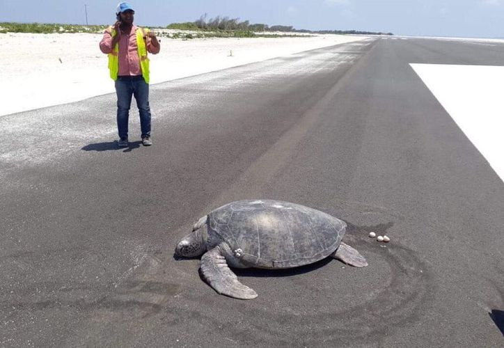 La tortuga fue liberada de regreso al océano por los lugareños. (Internet)