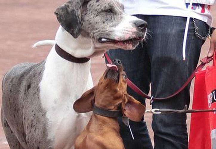 Los dueños de perros de cualquier tipo se enfrentan a menudo con cuentas de entre cuatro mil y cinco mil dólares por las cirugías a las que someten a sus mascotas. (Archivo/Notimex)
