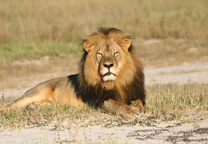 La ley estadounidense obliga a tramitar un permiso para importar un león como trofeo de caza mayor y niega permisos para cualquiera que haya sido condenado de violar leyes de vida silvestre. (AP)