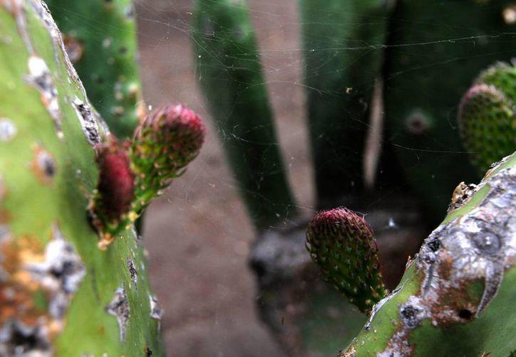 El nopal es una de las plantas que tiene la habilidad de adaptarse a los tiempos de sequía y seguir dando frutos. (Archivo/Notimex)