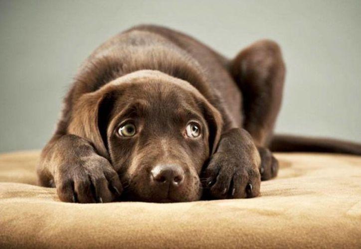 Si de cachorro nunca fue expuesto a ruidos fuertes es probable que les tema de adulto. (Archivo/Agencias)