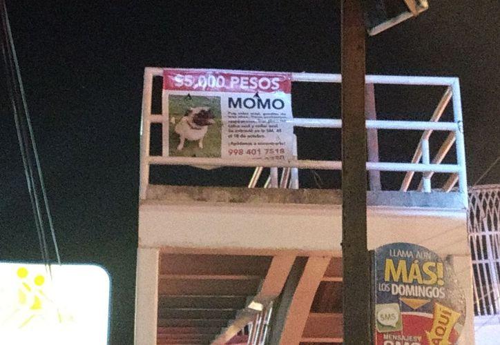 Para la búsqueda de Momo se han repartido 800 volantes casa por casa, carteles en postes y anuncios por redes sociales. (Foto: SIPSE)