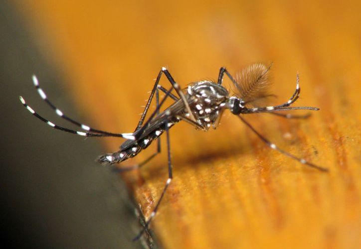Al igual que el chinkungunya, zika y dengue, la enfermedad se transmite por la picadura de un mosquito. (Vanguardia)