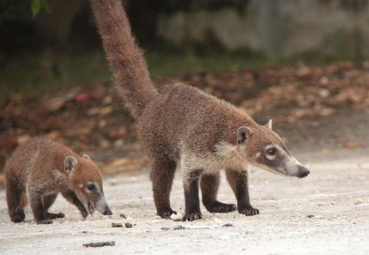 Los coaties son las especies silvestres que habitan en el parque Kabah y son los que más contacto tienen con la vida exterior. (Tomás Álvarez/SIPSE)