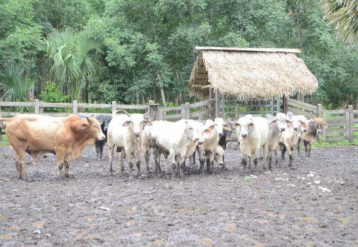 La ganadería sigue en decadencia porque se va reduciendo el número de ganaderos. (Tony Blanco/ SIPSE)