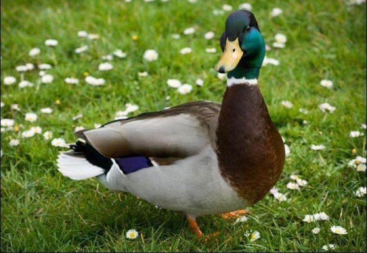Los científicos estiman que tal comportamiento inusual de los patos se debe a que estas aves necesitan más proteína. (Foto: Contexto/Internet)