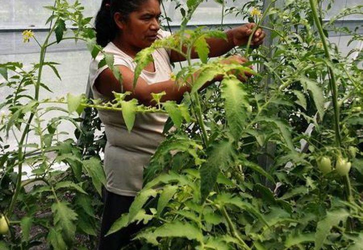 Los invernaderos han sido abandonados a raíz de la quiebra de la hidroponía maya.  (Redacción/SIPSE)