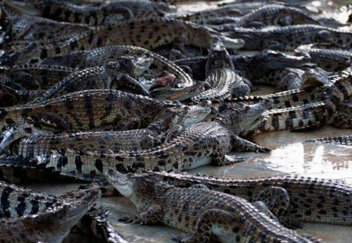En la 'fosa' en la que una mujer tailandesa se lanzó para quitarse la vida había unos mil cocodrilos, según reportes oficiales. La imagen no corresponde al hecho, es únicamente de contexto. (excelsior.com.mx)