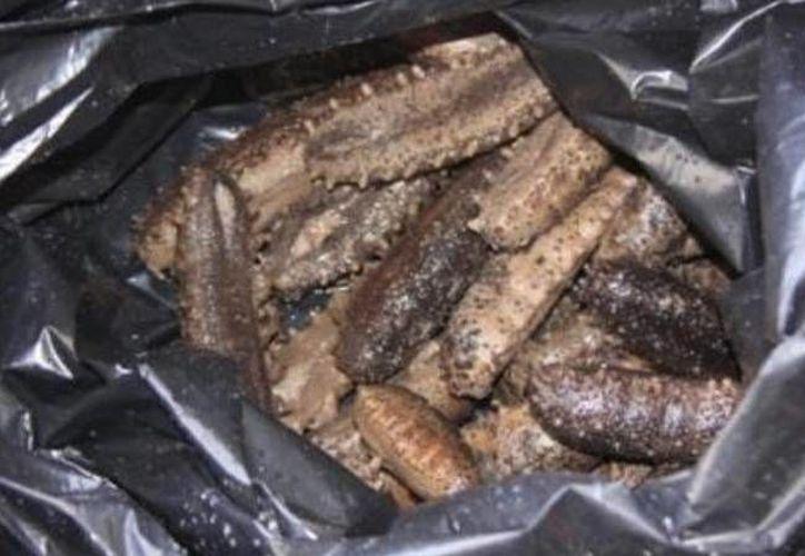 El pepino de mar estaba oculto en bolsas negras en la cajuela de un auto. (Óscar Pérez/SIPSE)