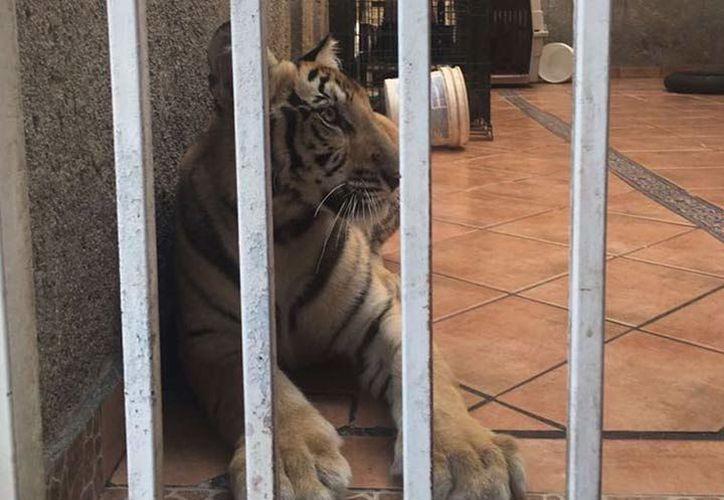 El ejemplar fue trasladado al Zoológico Parque La Pastora con apoyo de personal de Parques y Vida Silvestre del estado. (Foto: Profepa)