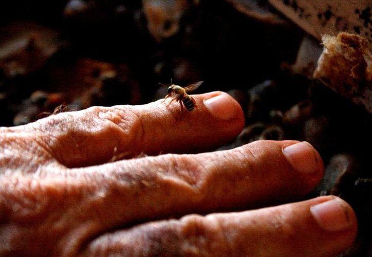 Los apicultores de la Riviera Maya venden hasta en mil 200 pesos cada kilogramo de miel de abeja melipona. (María Mauricio/SIPSE)
