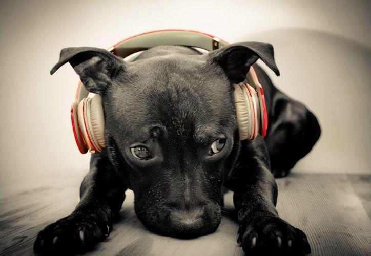 Los perros disfrutan la música, pero no todos los géneros por igual. (perrocontento.com)