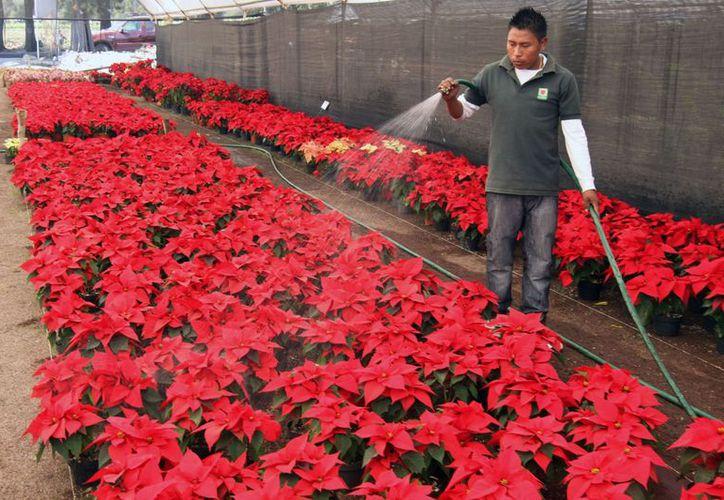 Los pétalos de color rojo intenso de la Nochebuena combinan perfecto con la época decembrina y su colorido. La imagen es de un vivero de Atlixco, Puebla. (Archivo/Notimex)