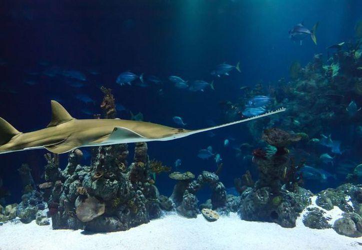 La afectación y agresión hacia este animal está muy vigilado para el cuidado del hábitat del tiburón ballena. (Contexto/Internet)