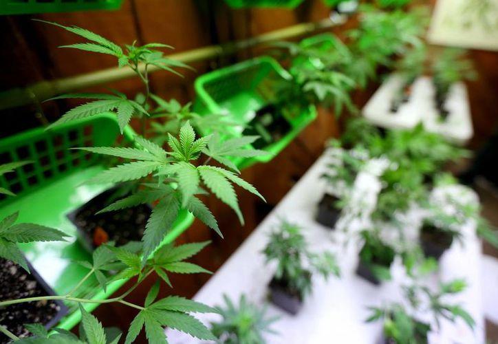 El domingo 15 de noviembre se premiará al mejor cultivador de marihuana en Jamaica, en el marco del Rastafari Rootzfest. (AP)