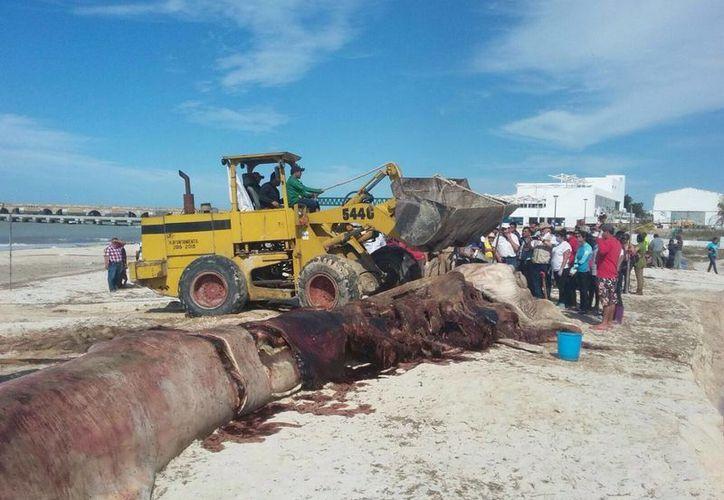 Para la necropsia realizada a la ballena remolcada en Progreso se requirieron unas 8 horas. Este lunes fue enterrada en dicho puerto. (Milenio Novedades)