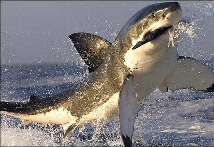 Australia planea obtener un permiso para ampliar su programa de captura de tiburones para los siguientes tres años. (veoverde.com)